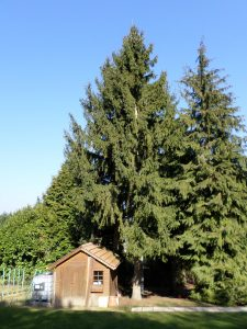 Coupe sapin (avant)