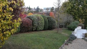 Taille arbuste en boule